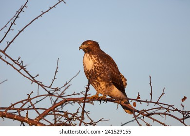 Cooper's Hawk perching on tree branches