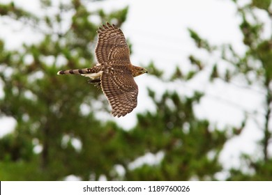 Cooper's hawk with prey,  mourning dove
