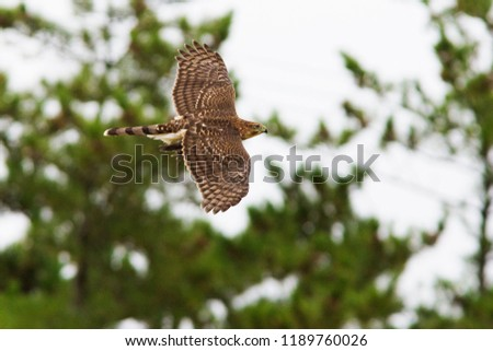 Coopers hawk with prey