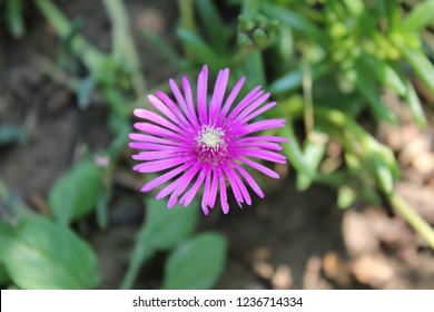 Cooper's Iceplant in bloom