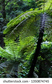 Cooper's Tree Ferns in Bunya Mountains National Park