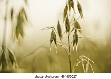 Coose Up of Oat plants on the acre in early Summer