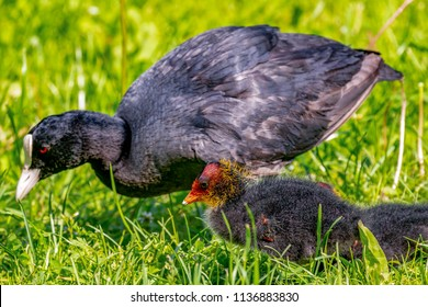 Coot with chicks in the meadow
