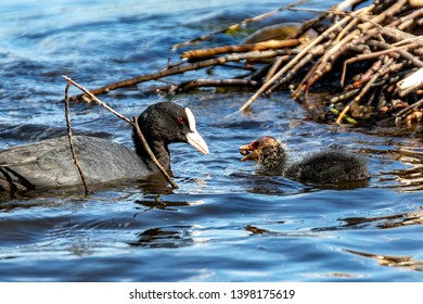 coot feedng its baby on a lake