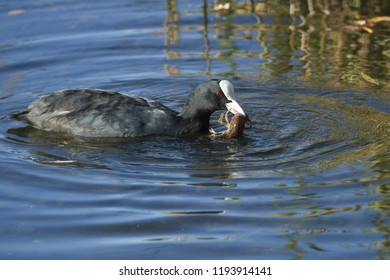 A Coot (Fulica atra) swimming in a lake with a crayfish in its beak which it has just caught and is about to eat.