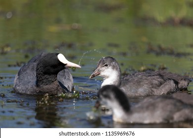 Coot kid learning to eat