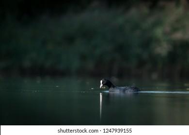Coot swimming. Photo shot on waterlevel