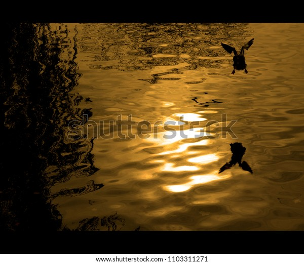 a coot takes off at sunset