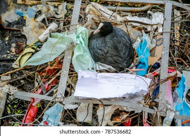 coot, wild bird,  sitting in a nest made of plastic bags in the city
