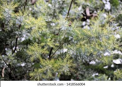 Australian Acacia Images Stock Photos Vectors Shutterstock