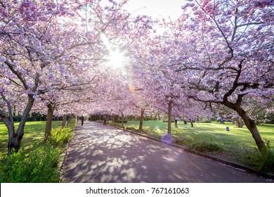 Copenhagen, Denmark - April 20, 2016: People enjoying the cherry tree blossoming at Bispebjerg cemetery