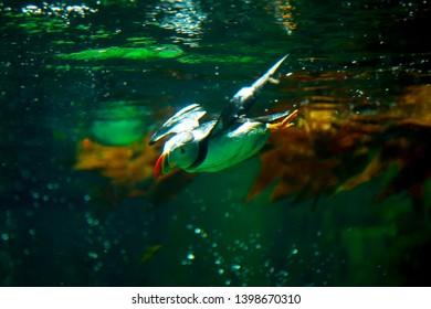 COPENHAGEN, DENMARK - JULY 1, 2014: Puffin in Blue Planet National Aquarium Denmark in Copenhagen