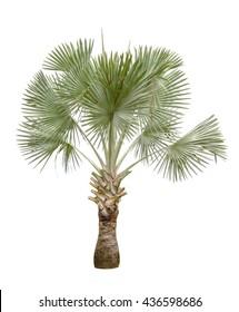 Copernicia hospita palm isolated on white background