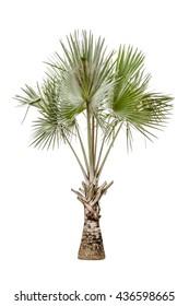 Copernicia hospita palm tree isolated on white background