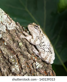 Cope's gray tree frog Hyla chrysoscelis / versicolor is sitting on a tree trunk