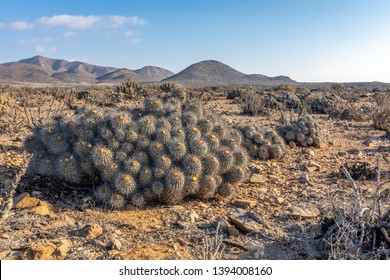 Copiapoa Carrizalensis Cactus at Llanos de Challe National Park, an endemic specie that just grows at Atacama Desert in this amazing National Park and quite impressive during the flower desert. Chile.