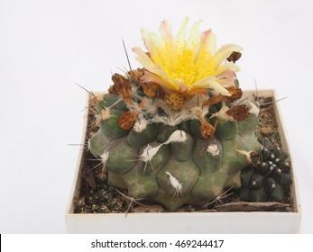 Copiapoa humilis with yellow flower, cactus isolated, yellow cactus flower, cultivation cactus in greenhouse, succulent in pot