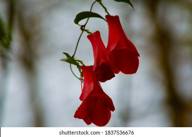 Copihue national flower of Chile.