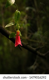 copihue, traditional chilean flower growing in the forest