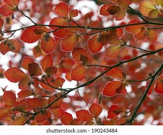 Copper beach branches in spring