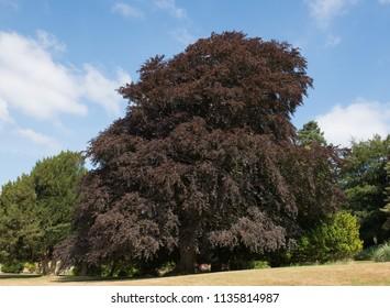 Copper Beach Tree (Fagus sylvatica f. purpurea) in a Garden in Rural Somerset, England, UK