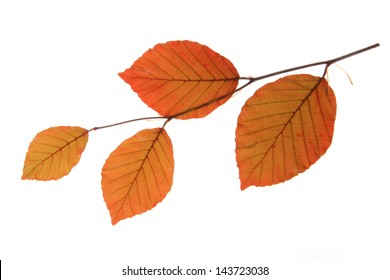 Copper beech (Fagus sylvatica f purpurea) - a small branch with fresh leaves in spring, isolated in front of white background
