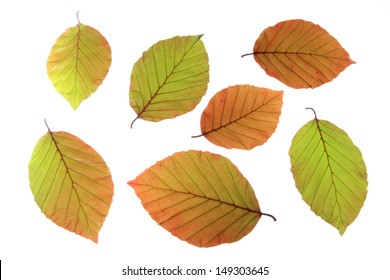 Copper beech (Fagus sylvatica f purpurea) - fresh leaves in spring, isolated in front of white background