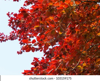 Copper beech leaves in spring