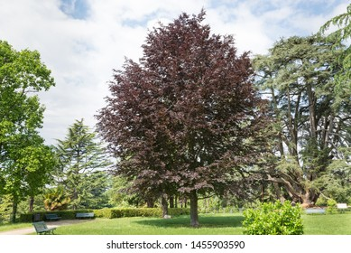 Copper beech or purple beech tree (Fagus sylvatica purpurea). Decorative tree with red - purple red leaves, used in large gardens or parks. European tree, Varese public gardens or Estensi gardens