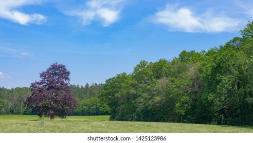 Copper beech in rural Germany