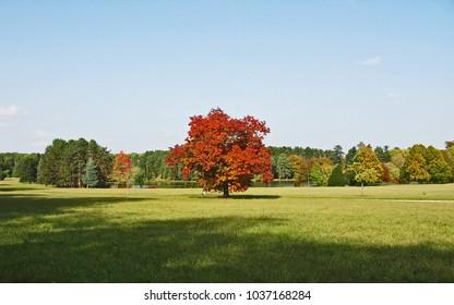 Copper beech tree in autumn landscape