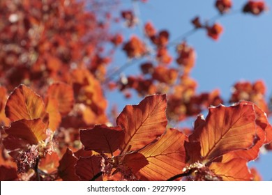 Copper beech tree branch with colorful leaves