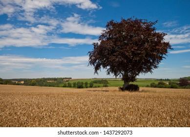 Copper Beech Tree in Dorset Field
