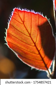 The Copper beech tree (Fagus sylvatica purpurea) leaf isolated,close up,macro,detail.