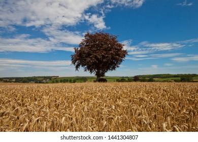 Copper Beech Tree in field, Dorset