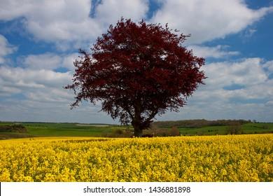 Copper Beech Tree in field of Oilseed