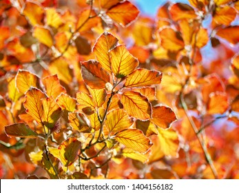 Copper Beech Tree Leaves in Spring