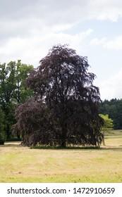 a copper beech tree on a meadow