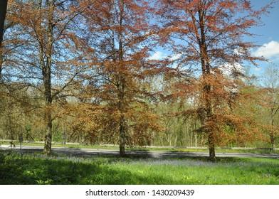 Copper beech trees along the roadside.