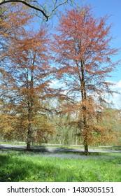 Copper beech trees along a springtime road.