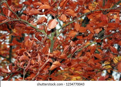 Copper Beech Trees in Autumn