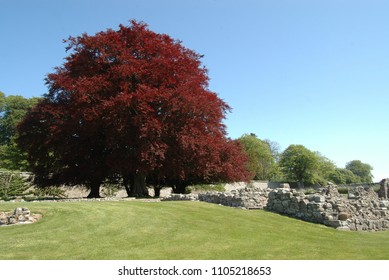Copper beech trees next to the remains of Deer Abbey, Aberdeenshire.