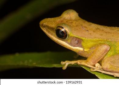 Copper Cheek Frog