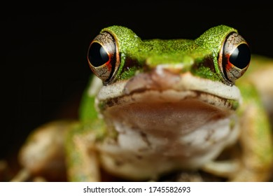 Copper cheeked frog looking into the camera. an extreme close up of the face of the frog. frog eyes colour and retina visible