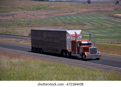 A Copper Classic Peterbilt Semi Truck pulls a cattle trailer along a rural US highway. June 20th, 2017 Oregon, USA