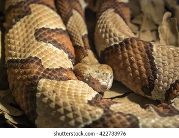 Copper Head poisonous snake, Agkistrodon contortrix phaeogaster