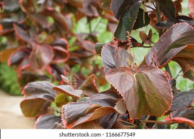 Acalypha Wilkesiana Images Stock Photos Vectors Shutterstock