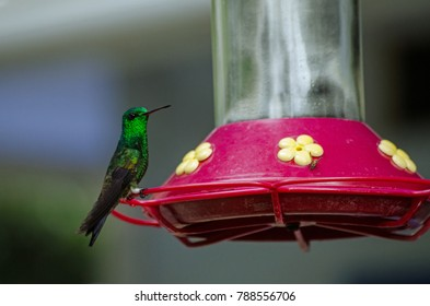 A copper rumped hummingbird, latin name Amazilia tobaci, perching on a nectar feeder in the rainforest of Tobago, Trinidad and Tobago.