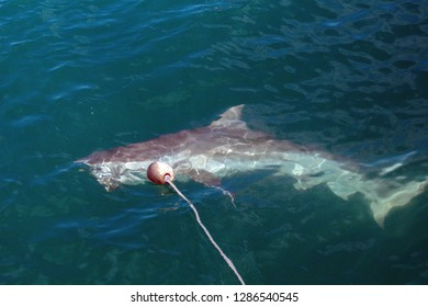 Copper shark just below the surface of the water, coming to the bait put out by a shark cage diving boat, in Kleinbaai, outside Gansbaai, South Africa