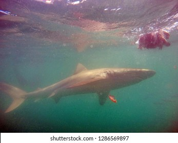 Copper shark underwater, in front of a shark cage, in Kleinbaai, outside Gansbaai, South Africa